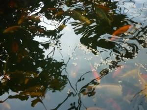 Eigen kweek meer kleurige koi van twee jaar oud. Op de foto ziet u een school van deze vissen zwemmen in de kweekbak.