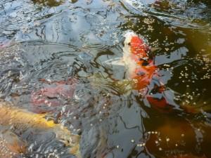 Japanse kweekdieren van Koi-keiko. Op de foto ziet u de bak waarin ongeveer 45 Koi zitten die gebruikt worden als ouderdier