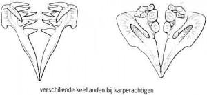 verschillende vormen van de keeltanden